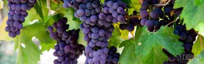 世界上最常见的16种红葡萄品种